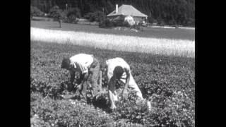 Der Kartoffelkäfer, der gefürchtete Feind unserer Kartoffelkulturen  (CH 1936)