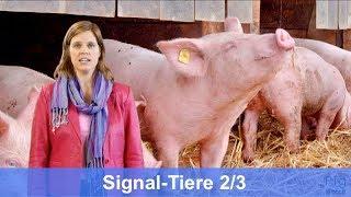 Tierbeobachtung: Schweine Signale 2/3