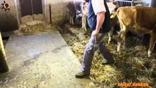 Rinder aus dem Stall