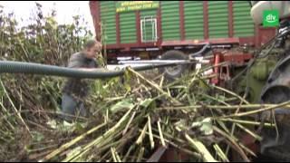 Energiepflanzen: Silphie-Anbau im Versuch