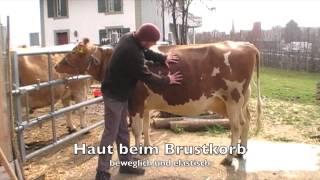 Vitalzeichen bei einer Kuh