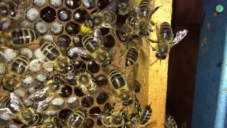 Königlicher Gesang – tuten und quaken der Bienen