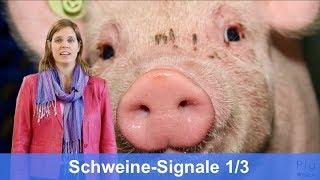 Tierbeobachtung: Schweine Signale 1/3