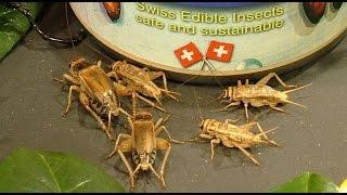 Die drei Insektenarten im Entwurf zum neuen Schweizer Lebensmittelgesetz – 22. Juni 2015